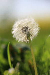 Detailaufnahme einer Pusteblume.