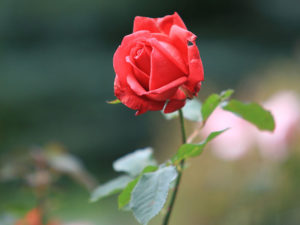 Rote Rose in einer Nahaufnahme