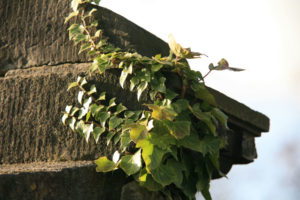 Efeu an einer Steinmauer